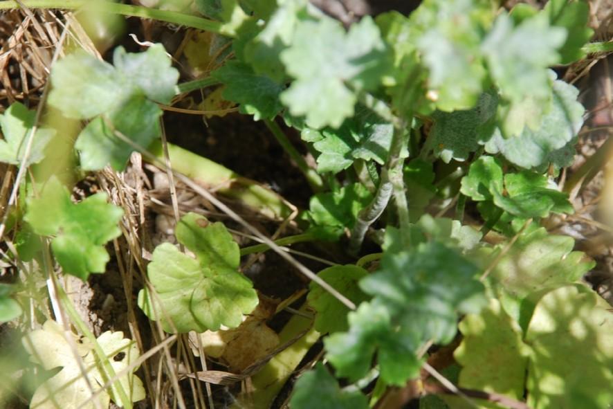 Ranunculus sardous 8