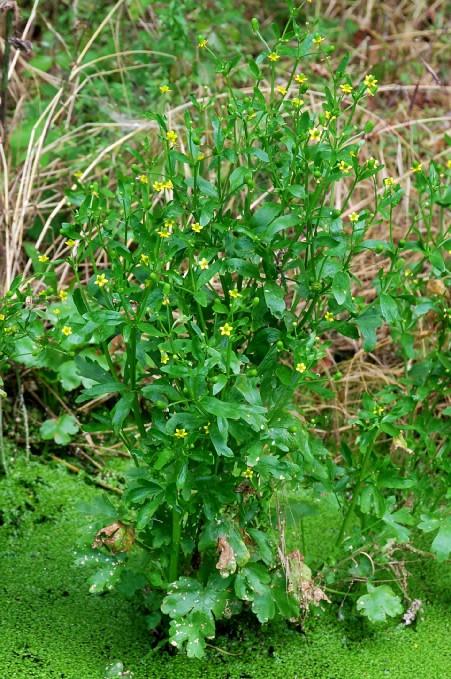 Ranunculus sceleratus 2