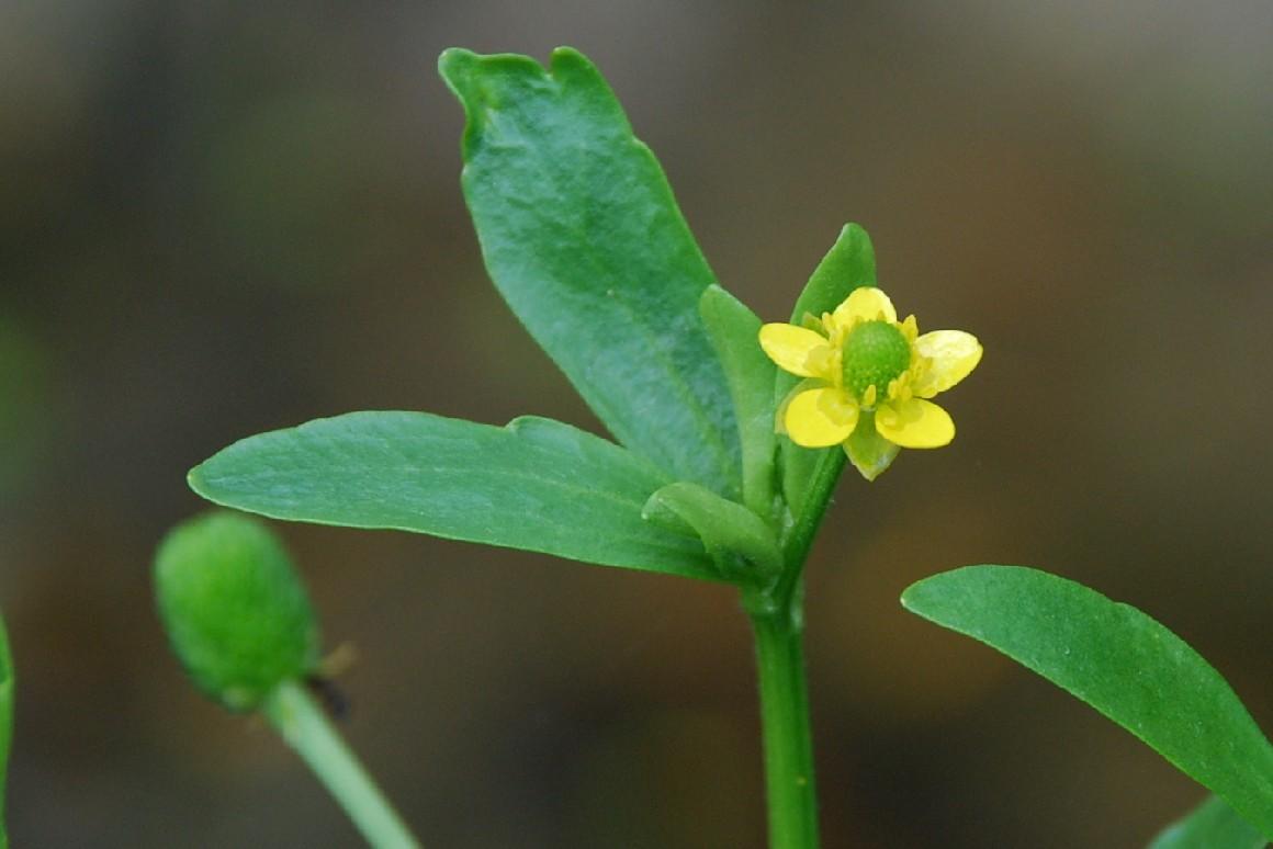 Ranunculus sceleratus 6