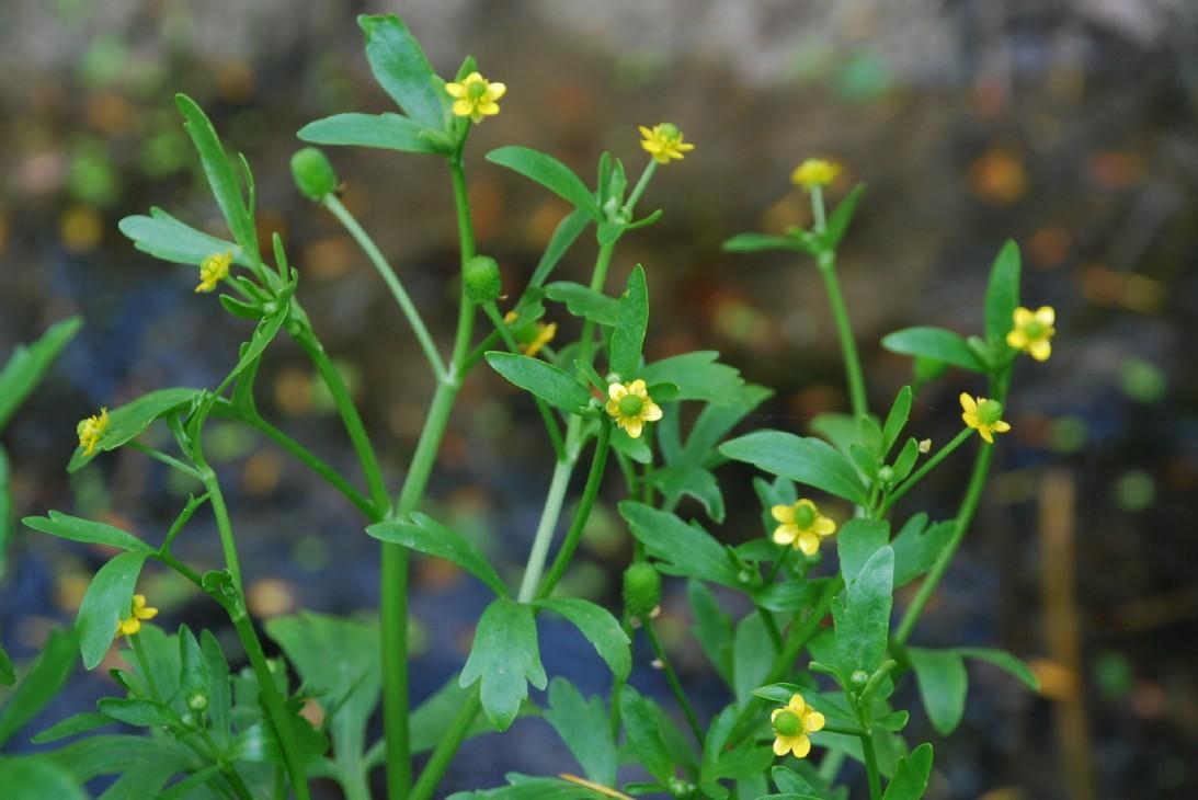 Ranunculus sceleratus 7