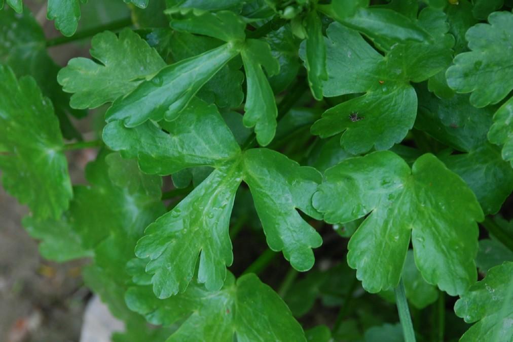 Ranunculus sceleratus 8