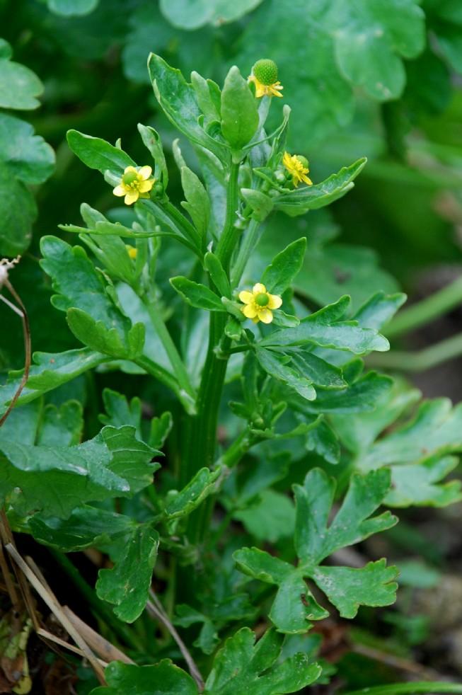 Ranunculus sceleratus 9