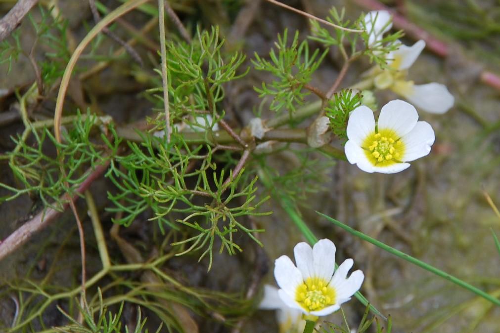 Ranunculus trichophyllus subsp. trichophyllus 4