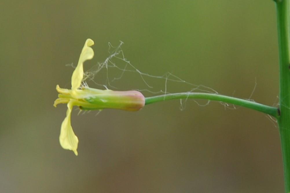 Raphanus raphanistrum subsp. landra 6