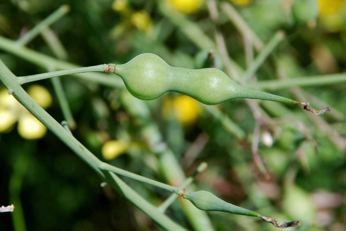 Raphanus raphanistrum subsp. landra 9