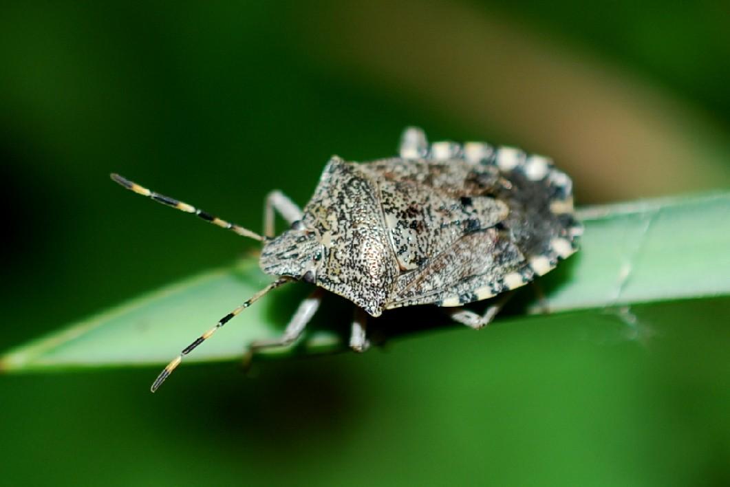 Raphigaster nebulosa - Pentatomidae