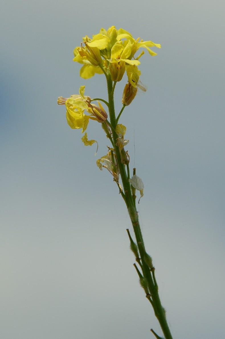 Rapistrum rugosum subsp. rugosum 11