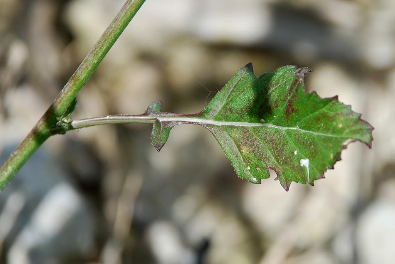 Rapistrum rugosum subsp. rugosum 12