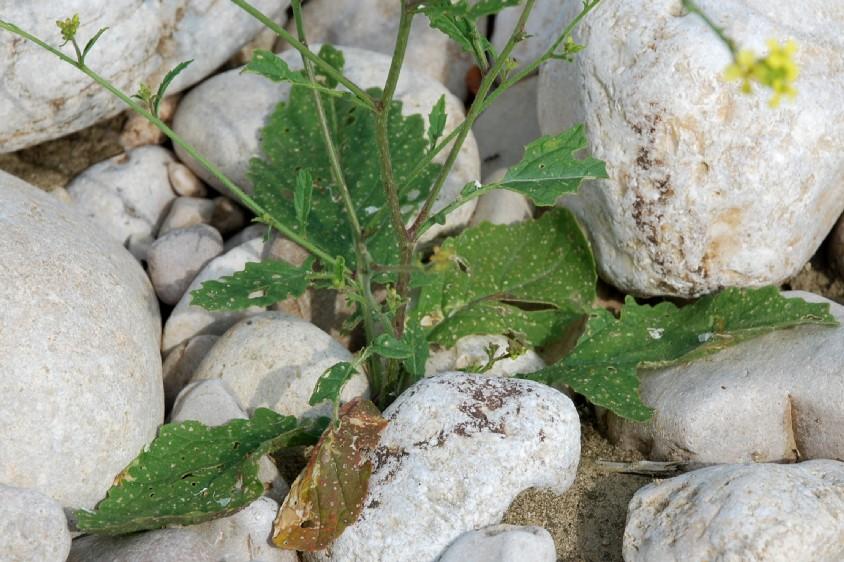 Rapistrum rugosum subsp. rugosum 15