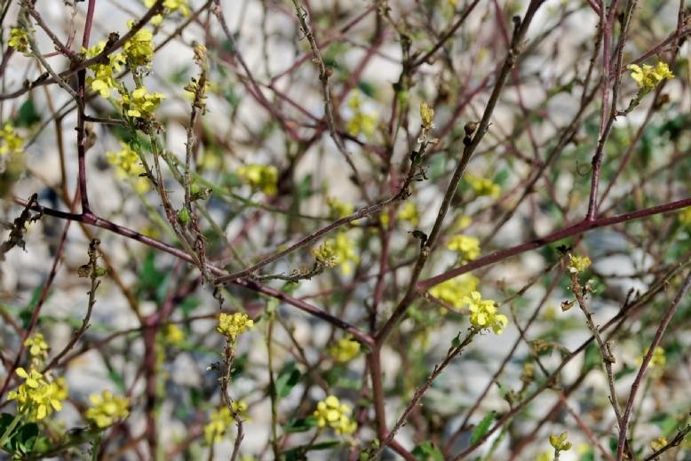 Rapistrum rugosum subsp. rugosum 19