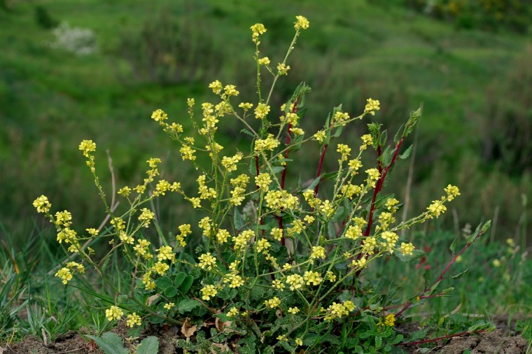 Rapistrum rugosum subsp. rugosum 2