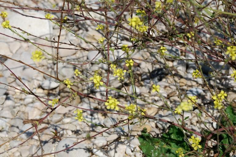 Rapistrum rugosum subsp. rugosum 20