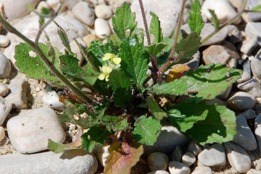 Rapistrum rugosum subsp. rugosum 21