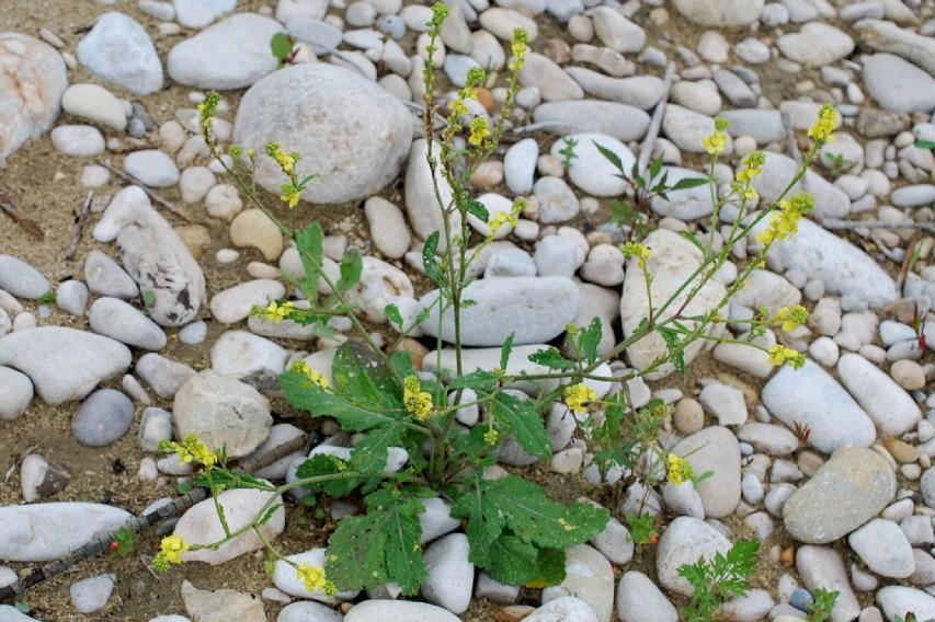 Rapistrum rugosum subsp. rugosum 25