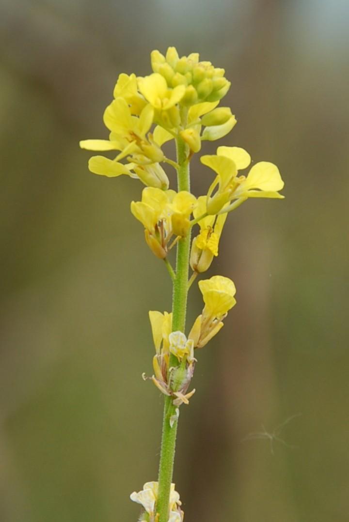 Rapistrum rugosum subsp. rugosum 6