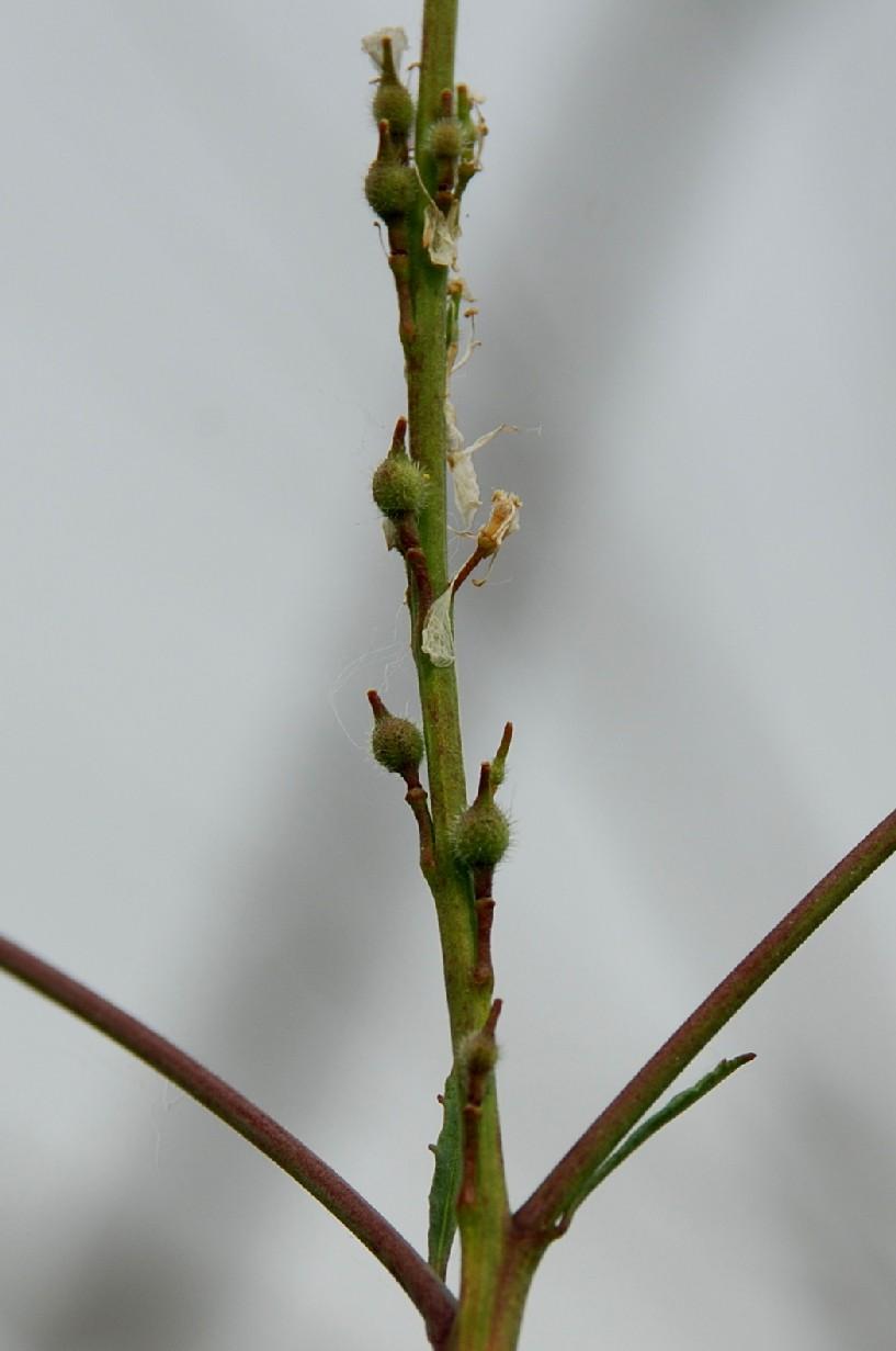 Rapistrum rugosum subsp. rugosum 7
