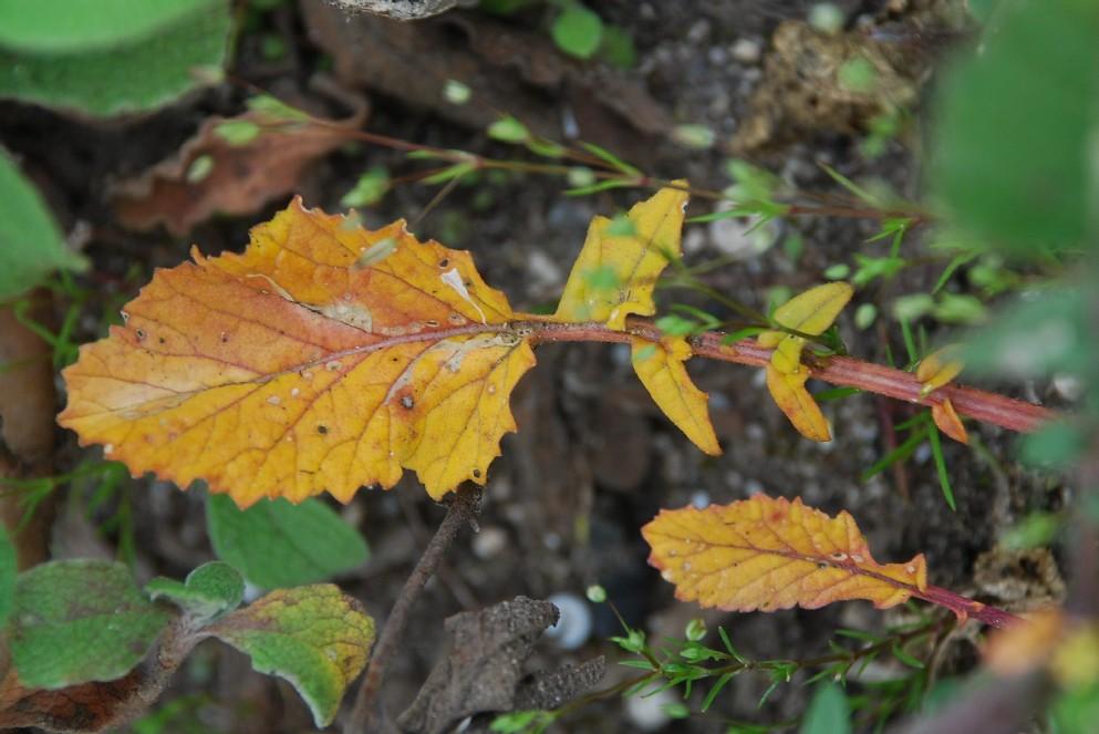 Rapistrum rugosum subsp. rugosum 8