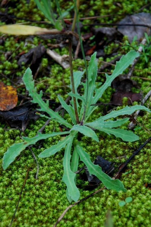 Reichardia picroides 10