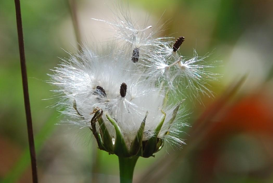 Reichardia picroides 11