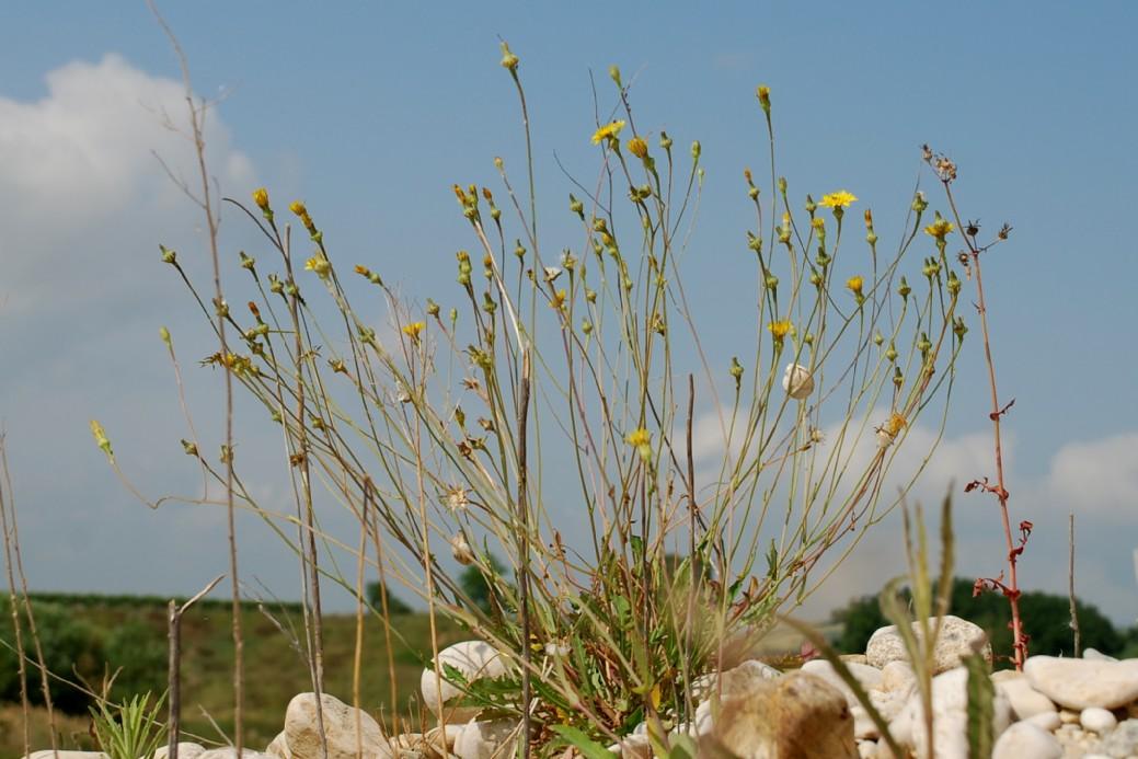 Reichardia picroides 19