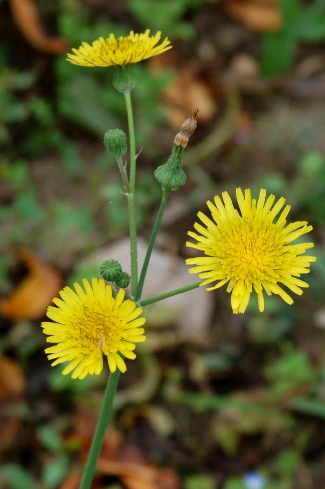 Reichardia picroides 2