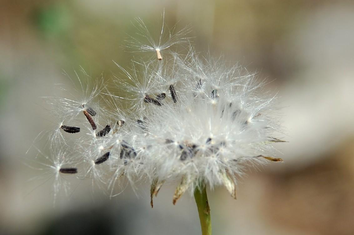 Reichardia picroides 20