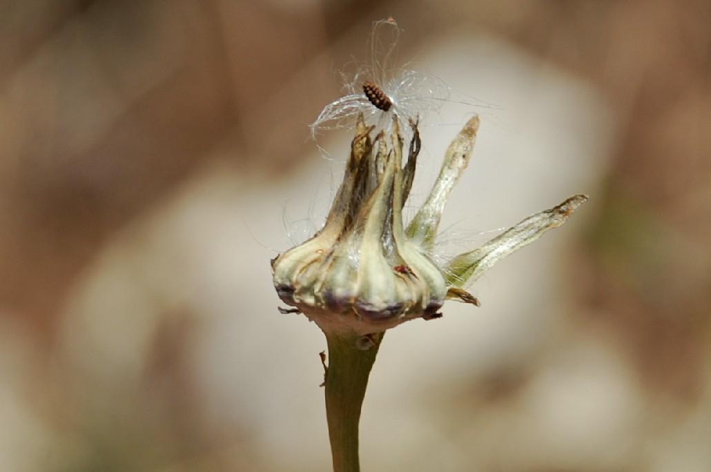 Reichardia picroides 21