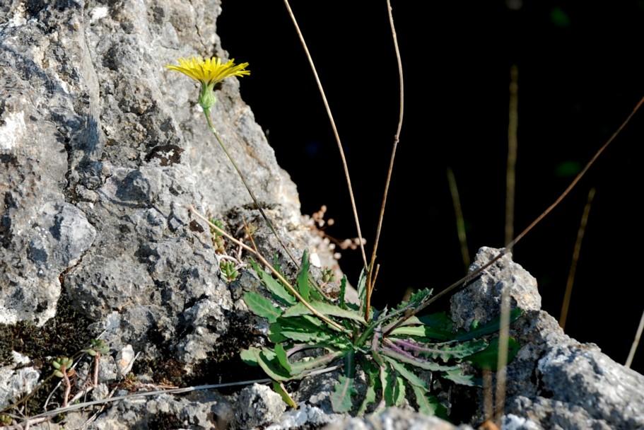 Reichardia picroides 23