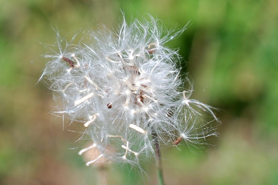 Reichardia picroides 25