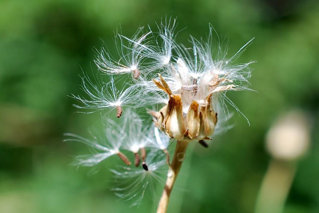 Reichardia picroides 26