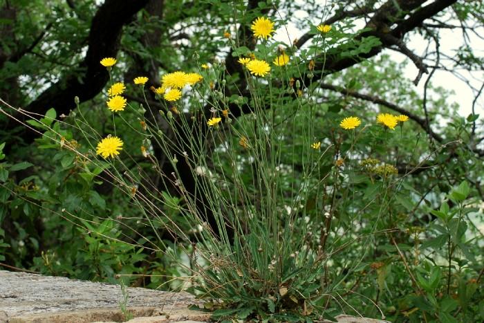Reichardia picroides 4