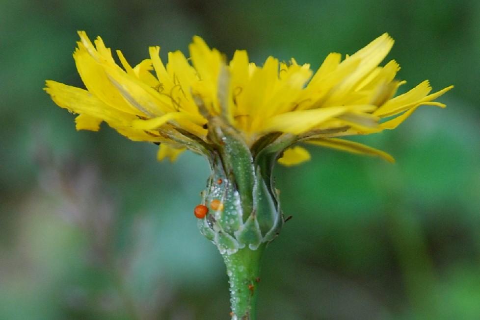 Reichardia picroides 5