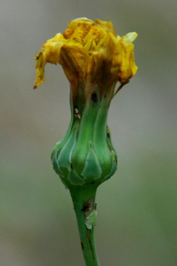 Reichardia picroides 6