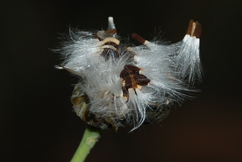 Reichardia picroides 7