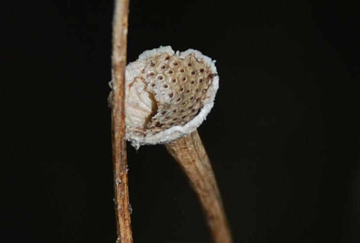 Reichardia picroides 8