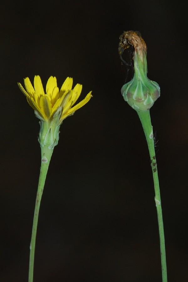 Reichardia picroides 9