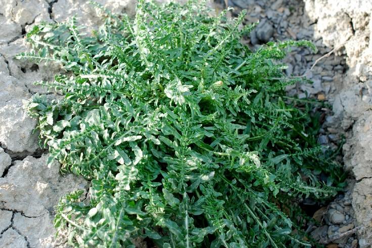 Reseda alba subsp. alba 14
