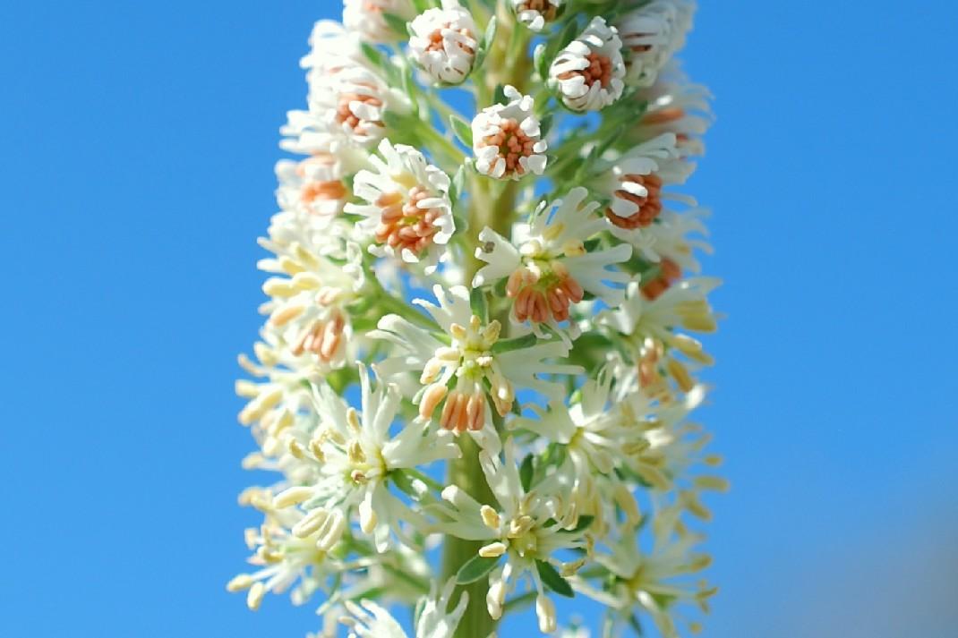 Reseda alba subsp. alba 16