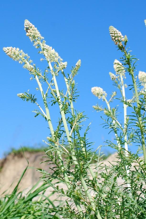Reseda alba subsp. alba 17