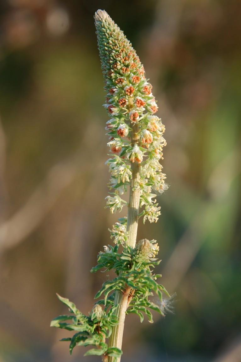 Reseda alba subsp. alba 2