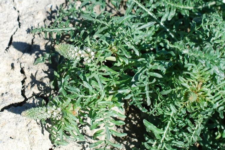 Reseda alba subsp. alba 20