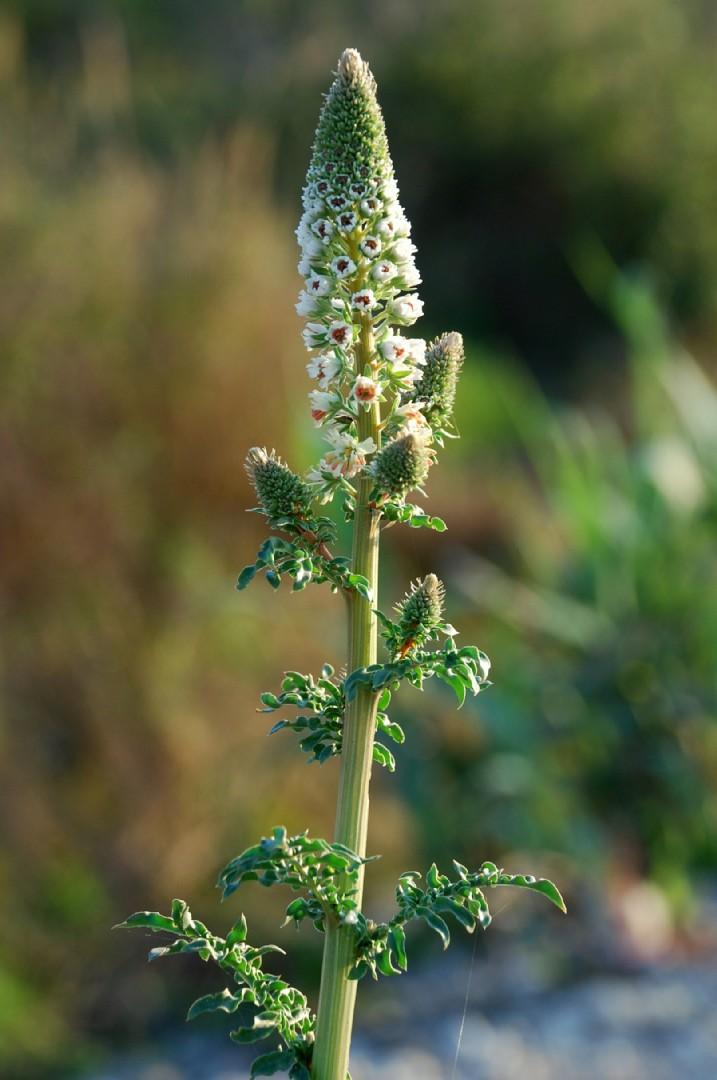 Reseda alba subsp. alba 3