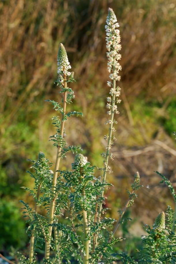 Reseda alba subsp. alba 5