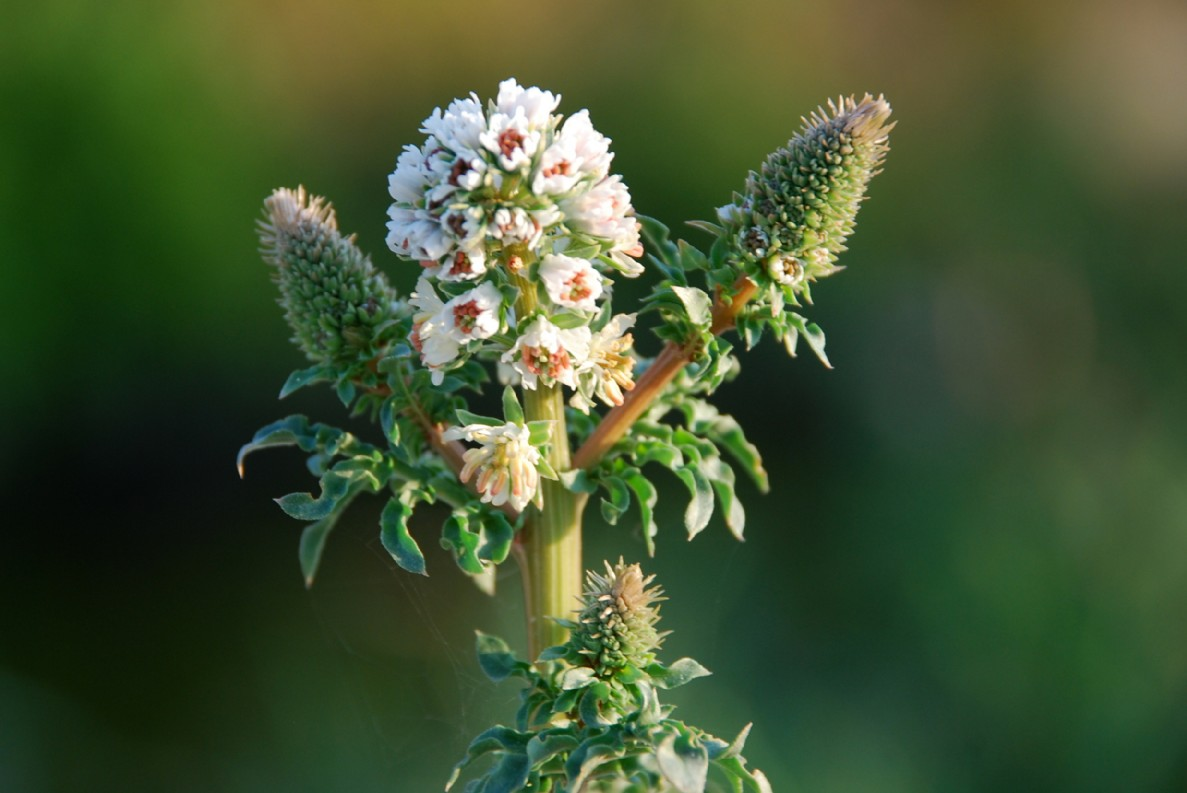 Reseda alba subsp. alba 7