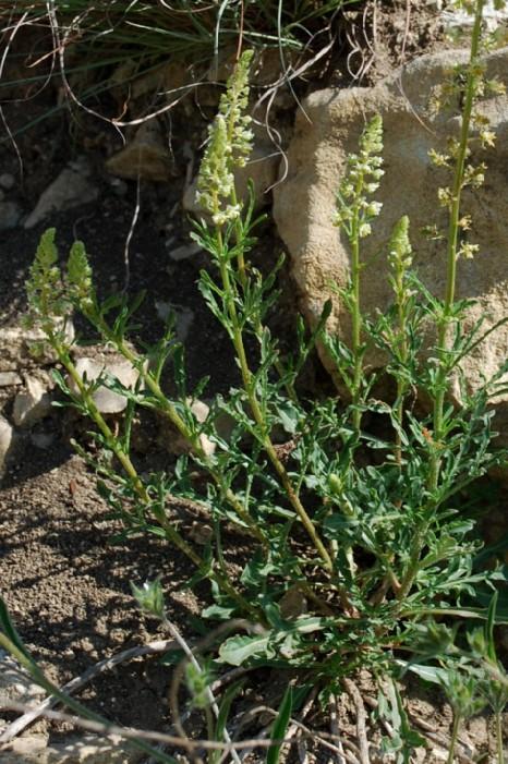 Reseda lutea subsp. lutea 15