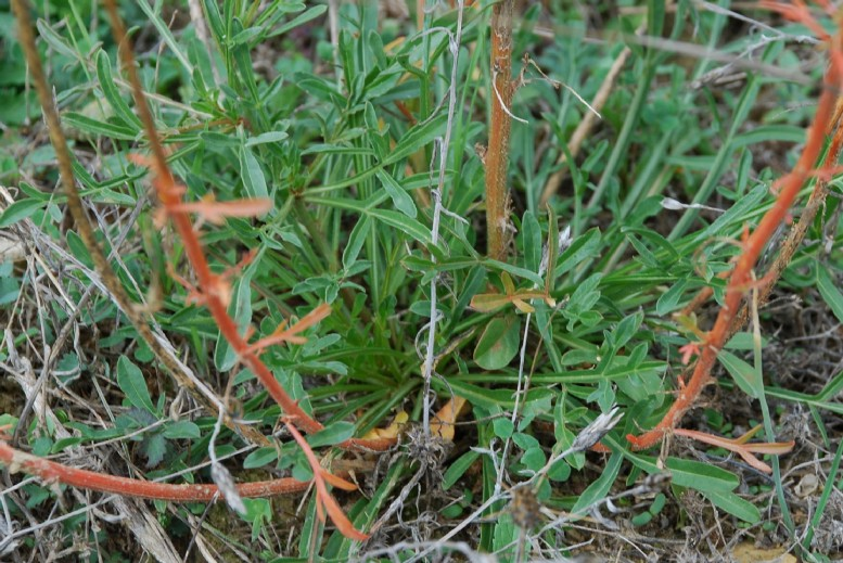 Reseda lutea subsp. lutea 21