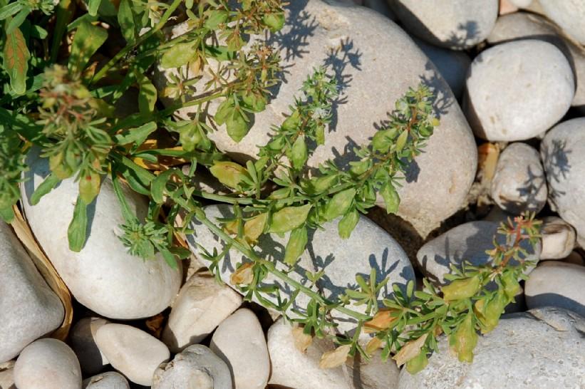 Reseda phyteuma subsp. phyteuma 10