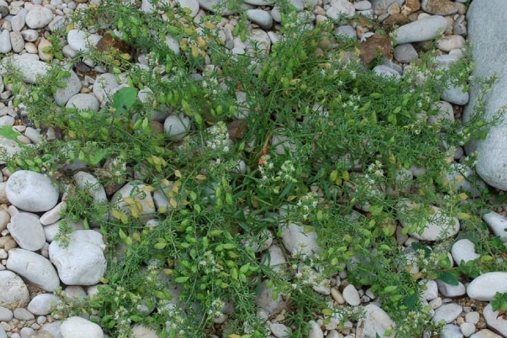 Reseda phyteuma subsp. phyteuma 16