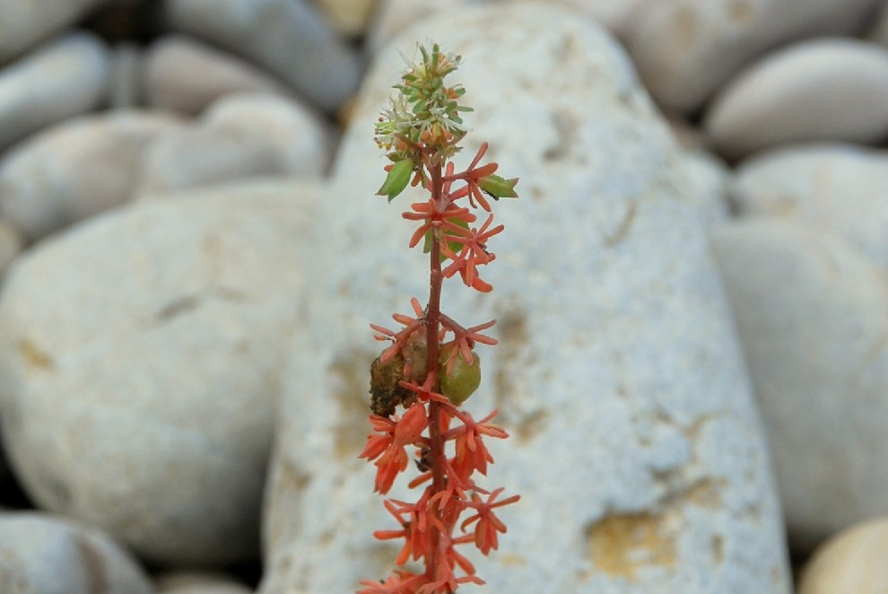 Reseda phyteuma subsp. phyteuma 17