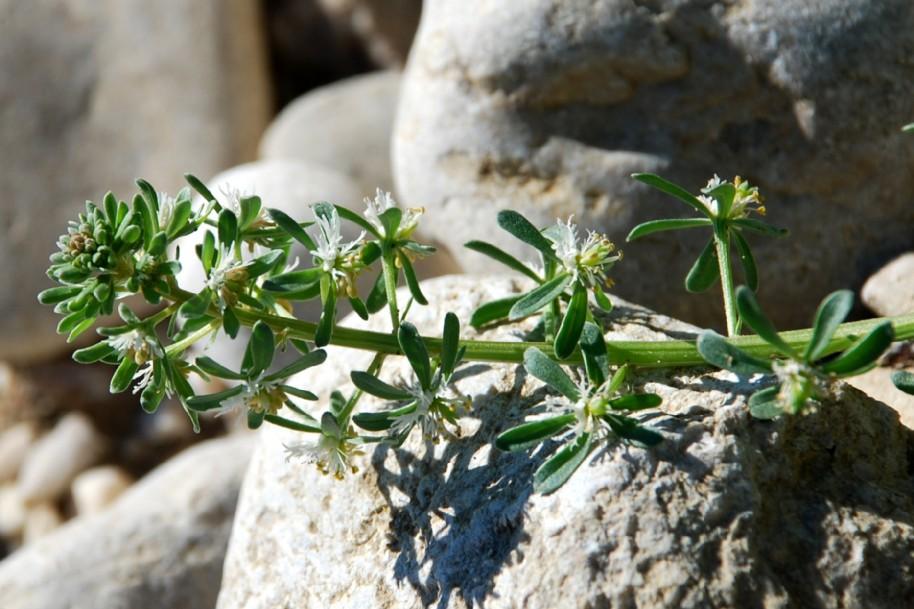 Reseda phyteuma subsp. phyteuma 2